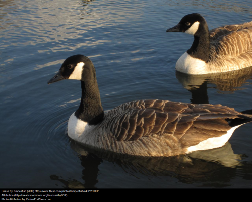 High fidelty: the Canada Goose prefers life as a pair.