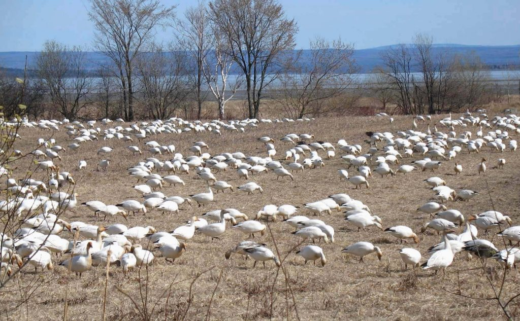The snow geese resting in Cap Tourmente. Photo by Gilbert Bochenek.