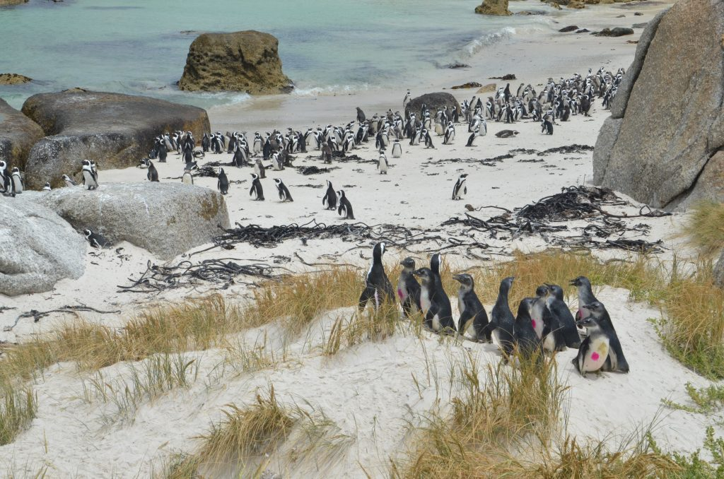 African penguin population has declined rapidly and fewer breeding pairs exist in the wild.