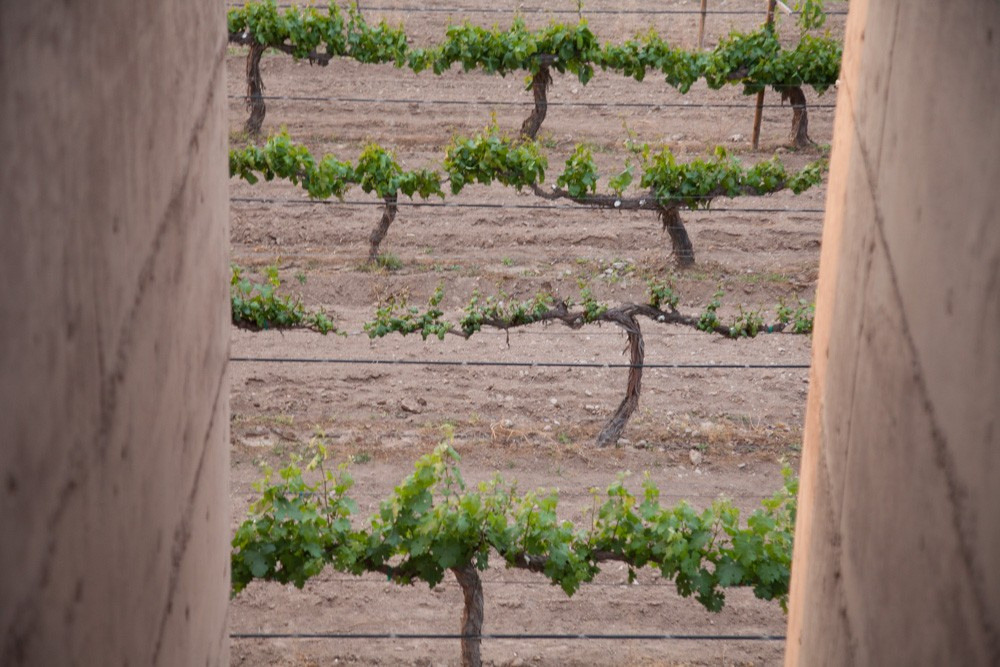 A view of the Cuna de Tierra vines.