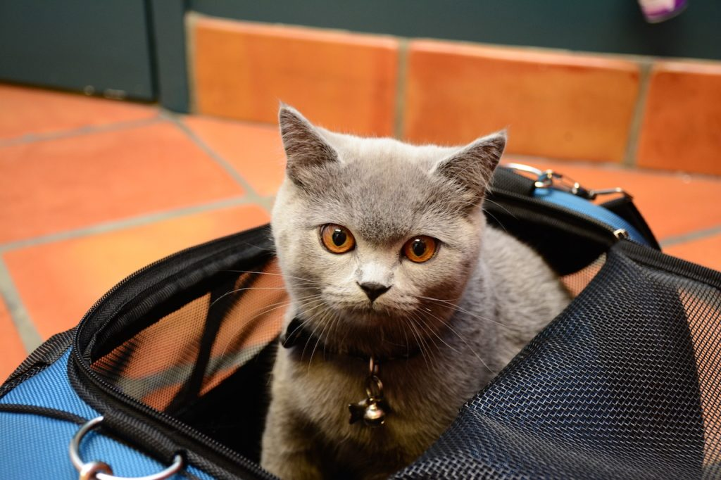 Family Pet patient Lulu, a British Shorthair.